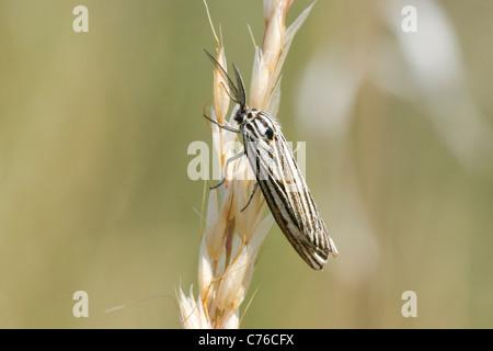 The Feathered Footman (Spiris striata) - Stock Photo