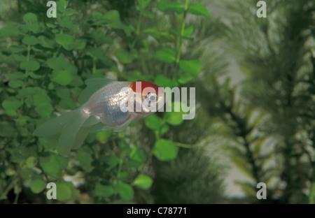Red cap oranda goldfish (Carassius auratus oranda) swimming in an aquarium - Stock Photo
