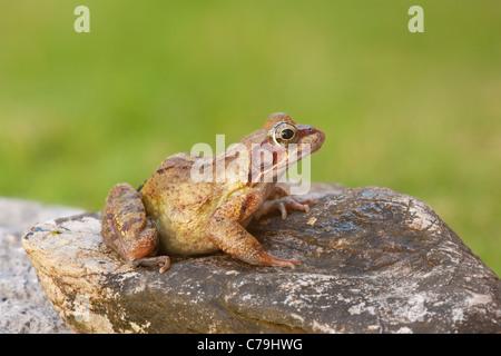 Common Frog, Rana temporaria - Stock Photo