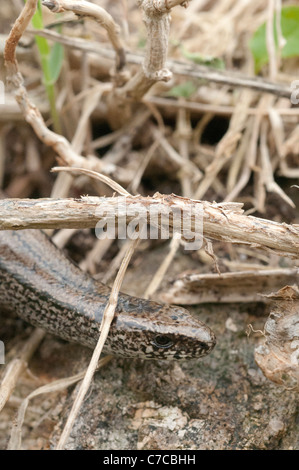Slow worm in undergrowth - Stock Photo