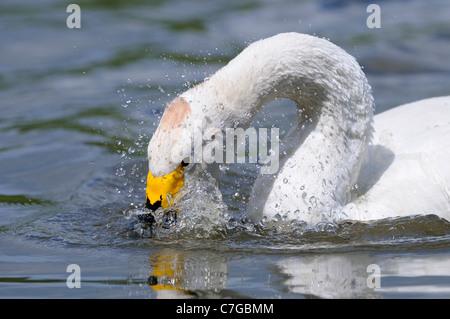 Bewick's Swan (Cygnus columbianus) on water, washing, Slimbridge, UK - Stock Photo