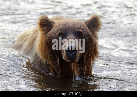 North American brown bear (Ursus arctos horribilis) sow fishes in Lake Clark National Park, Alaska, United States - Stock Photo