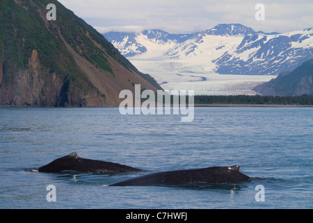 Humpback whales in front of Bear Glacier, Kenai Fjords National Park, near Seward, Alaska. - Stock Photo