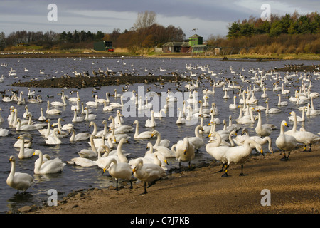 Swans overwintering at Martin Mere WWT, mute, bewicks and whooper with other water fowl. - Stock Photo