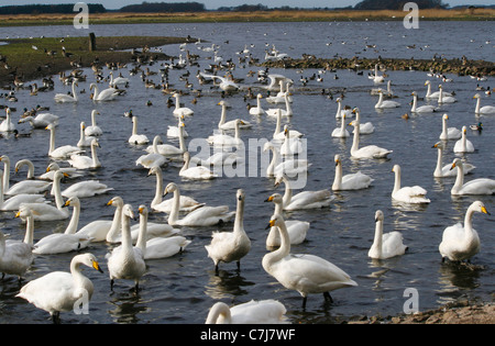 Mass of swans overwintering at Martin Mere WWT, mute, bewicks and whooper with other water fowl. - Stock Photo