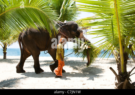 Elephant and  mahout walking along white sand beach carrying  the harvested palm  leaves on Marari Beach, Kerala, - Stock Photo