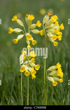 Cowslip ( Primula veris) - Stock Photo