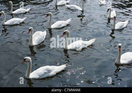 White swans on the River Stour at Town Quay, Christchurch, Dorset, England, UK - Stock Photo