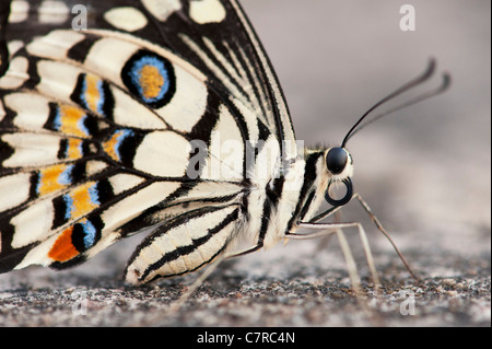 Papilio demoleus . Lime butterfly - Stock Photo