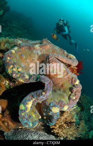 Giant Clam and Scuba Diver, Tridacna squamosa, Raja Ampat, West Papua, Indonesia - Stock Photo