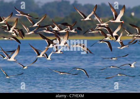 Flock of Black Skimmer birds at Wrightsville Beach in North Carolina - Stock Photo