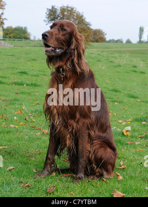 An English  red setter sitting on the grass - Stock Photo
