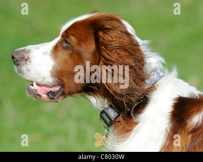 An English red and white setter in profile - Stock Photo