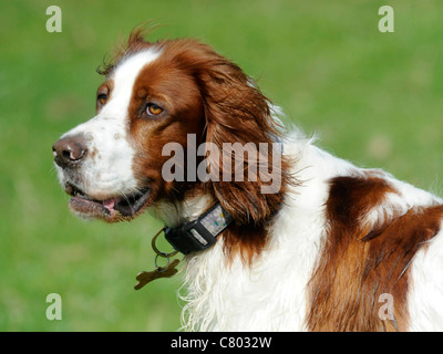 A red and white english setter - Stock Photo