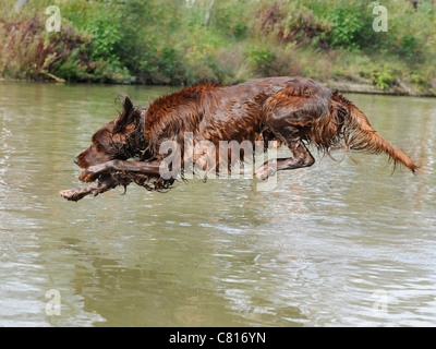 A red setter diving into a stream to have a swim - Stock Photo