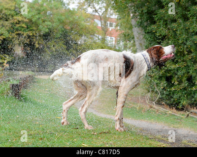 A red and white setter dog that is shaking himself - Stock Photo