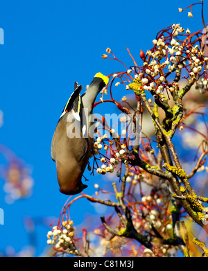 Waxwing Bombycilla garrulus feeding on berries during winter in Oxfordshire - Stock Photo