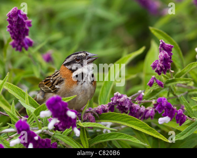 Rufous-collared Sparrow Zonotrichia capensis, singing amongst some violet flowers - Stock Photo