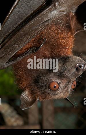 fruit bat for sale - Stock Photo