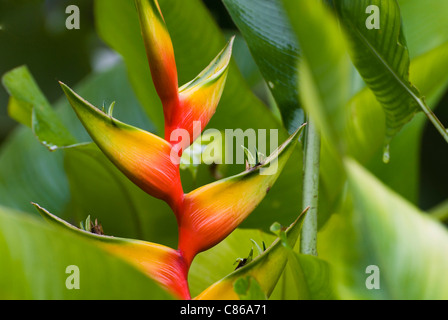 Close up of Heliconia Bihai cv Nappi red flower. - Stock Photo