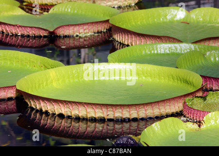 Victoria is a genus of water lilies, with very large green leaves that float on the water's surface. - Stock Photo