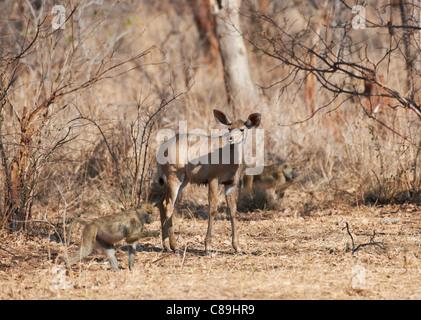 female Greater Kudu, Tragelaphus strepsiceros, Vwaza Marsh Game Reserve, Malawi, Africa - Stock Photo