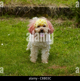 Dyed Toy Poodle in a Garden in Wales, UK - Stock Photo
