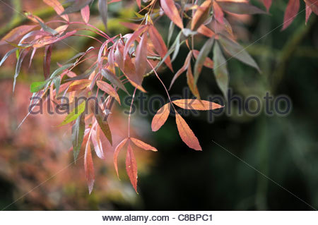 fraxinus angustifolia 'raywood' narrow leafed ash in Autumn Uk - Stock Photo