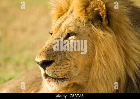 Lion in the Okavango Delta, Botswana - Stock Photo