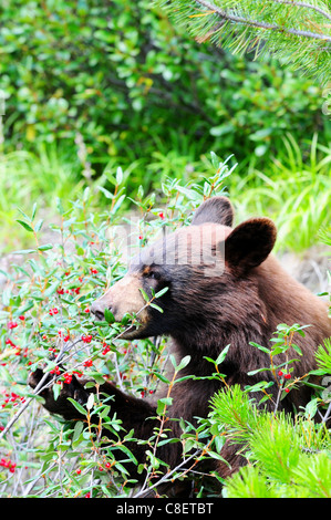 Brown colored black bear eating buffalo berries in Jasper, Canada - Stock Photo
