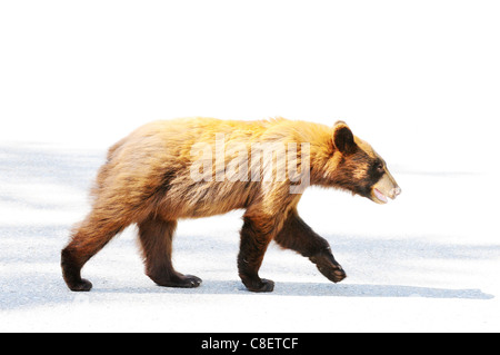 Brown colored black bear on the road in Jasper, Canada - Stock Photo