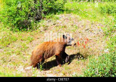 Brown colored black bear looking for berries in Jasper, Canada - Stock Photo