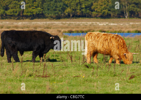 Red and black Highland cattle grazing in the front of a forest - Stock Photo
