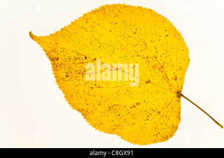 Autumn Common Lime Leaves - Stock Photo