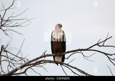 African Fish Eagle (Haliaeetus vocife), Savute Channel, Linyanti, Botswana. - Stock Photo