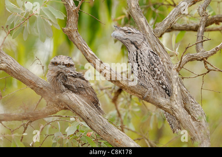 Tawny Frogmouth Podargus strigoides Adult with large chick Photographed in Queensland, Australia - Stock Photo