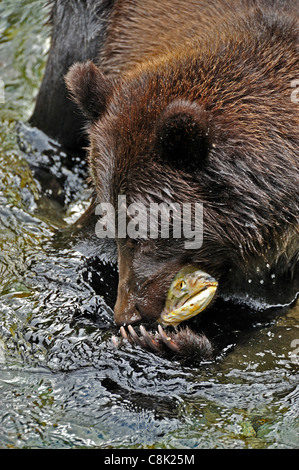 A Grizzly Bear catching a spawning chum salmon in Fish Creek near Hyder Alaska - Stock Photo
