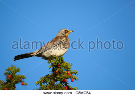 Fieldfare; Turdus pilaris;on yew tree; UK - Stock Photo