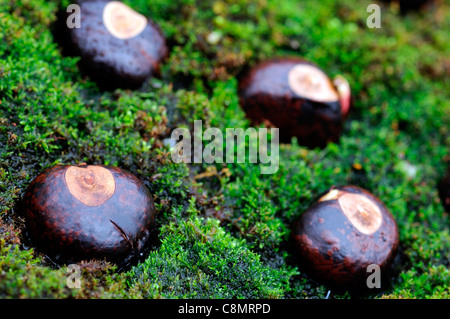 horse chestnuts closeup still life brown conkers fruit seeds green moss mossy embedded arranged arrange natural - Stock Photo