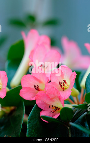 rhododendron sweet seraphim flowers pink and white close up Fragrant vireya hybrid - Stock Photo