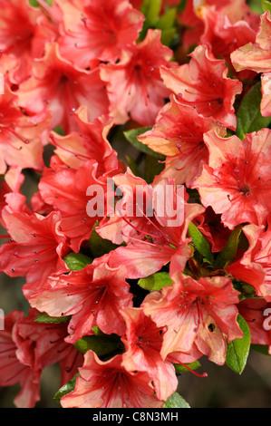 Azalea Geisha Orange Japanese azalea japonica evergreen funnel-shaped reddish-orange flowers blooms blossoms - Stock Photo
