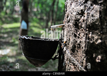 Collecting sap to make rubber showing sap dripping from a rubber tree into a drip pot in the foothills of Kerala, - Stock Photo