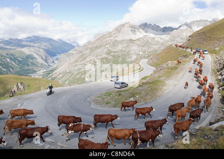 France, Savoie, Col de l'Iseran, cow herd on winding road - Stock Photo