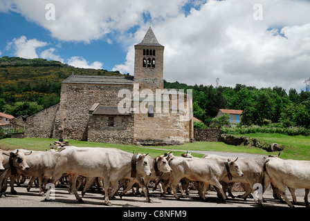 France, Pyrenees, Ariege, cows walking on road - Stock Photo