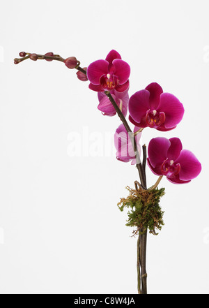 The branch of an orchid plant. Pink phalaenopsis orchid spray - Stock Photo