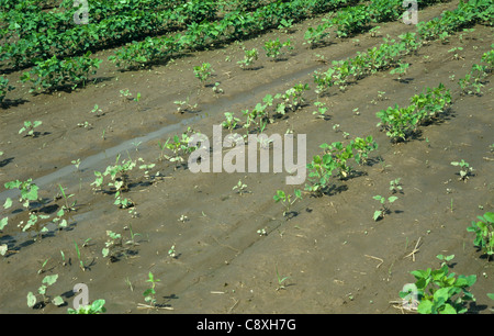 Young soybean crop severely affected by heavy rain, Mississipi, USA - Stock Photo