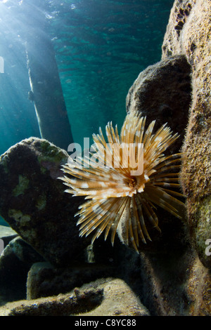 A tube worm in the shallow warm waters of The Caribbean - Stock Photo