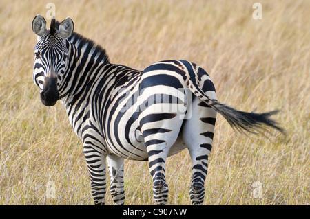 Rear view of Burchell's Zebra, Equus guagga burchellii, Masai Mara National Reserve, Kenya, Africa - Stock Photo