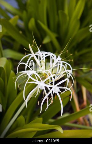 The Netherlands, Oranjestad, Sint Eustatius Island, Dutch Caribbean. Flowering Spider Lily in Botanical Garden. - Stock Photo