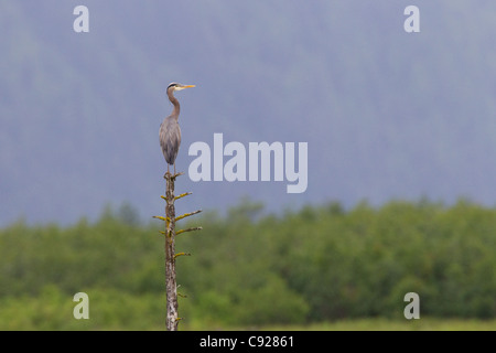 Great Blue Heron perched atop snag on Copper River Delta, Southcentral Alaska, Summer - Stock Photo